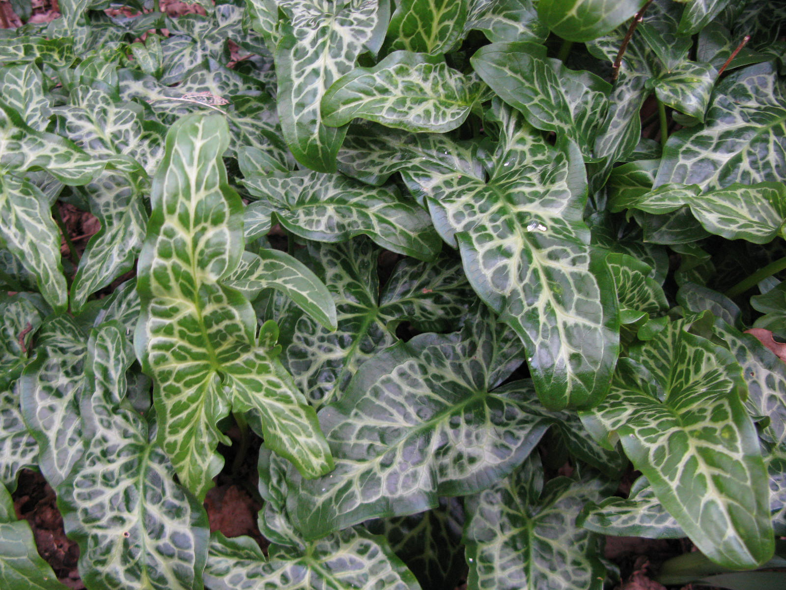 Plant profile arum italicum 39 pictum 39 lords and ladies for Low maintenance winter plants