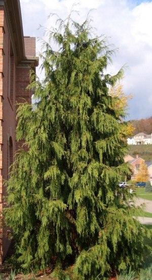 Small Cedar Varieties ~ Weeping alaskan cedar mid atlantic gardening