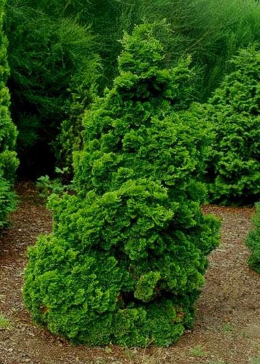 dwarf hinoki false cypress nana gracilis car interior design. Black Bedroom Furniture Sets. Home Design Ideas