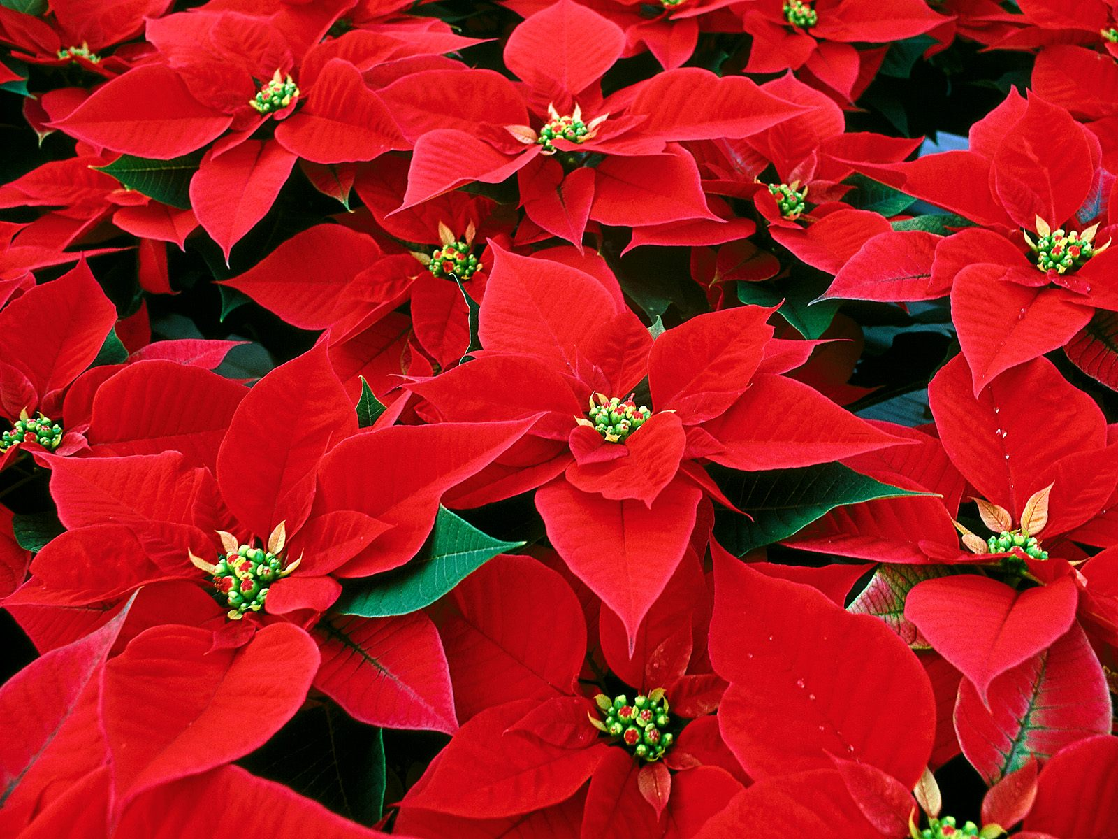 Reader Question Poinsettias