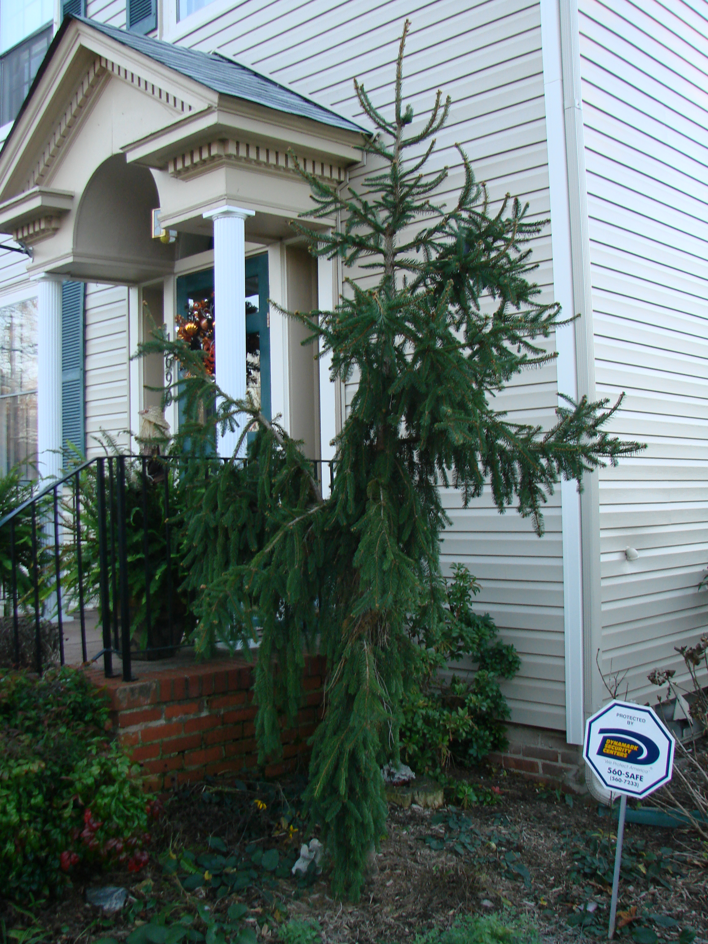 Plant Profile Weeping Norway Spruce Picea Abies Pendula