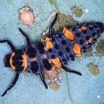 Aphid controller - ladybug larvae