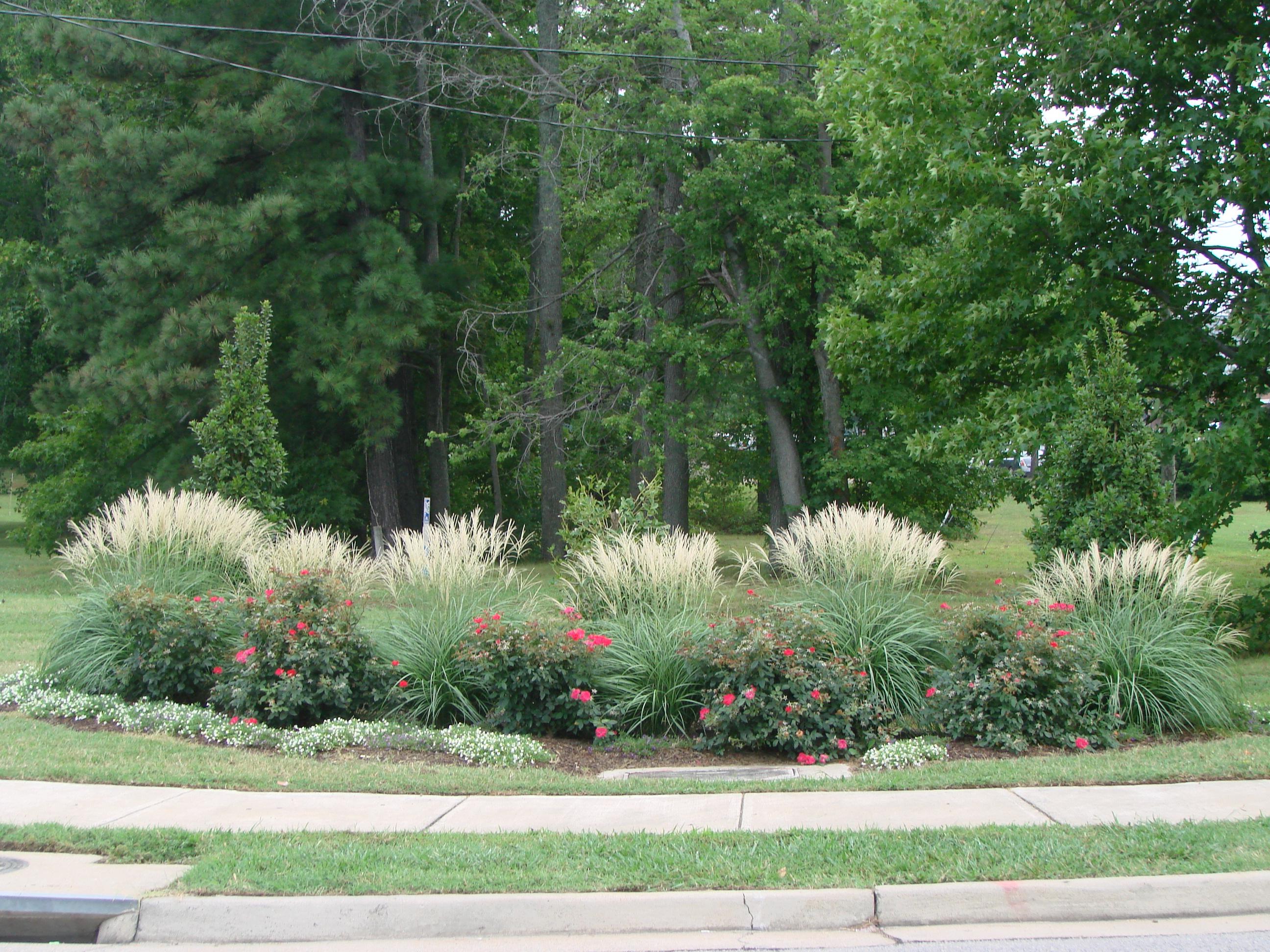 Plant profile adagio maiden grass miscanthus sinensis for Maiden fountain grass