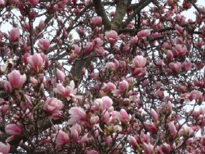 Early spring blooming trees and shrubs
