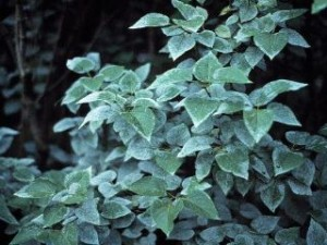 powdery mildew on lilac
