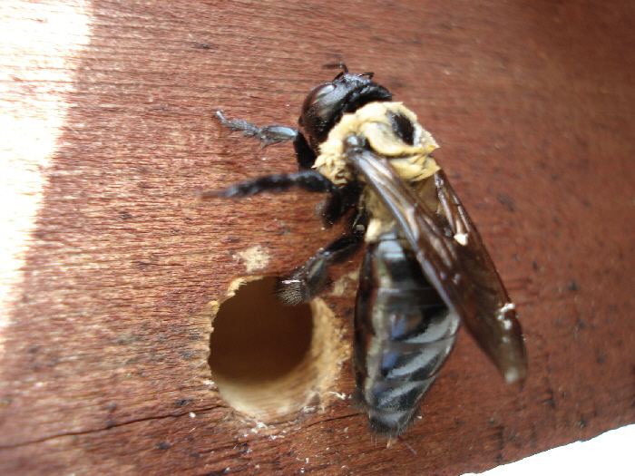 Pests and Diseases: Carpenter Bees – 4/4/12