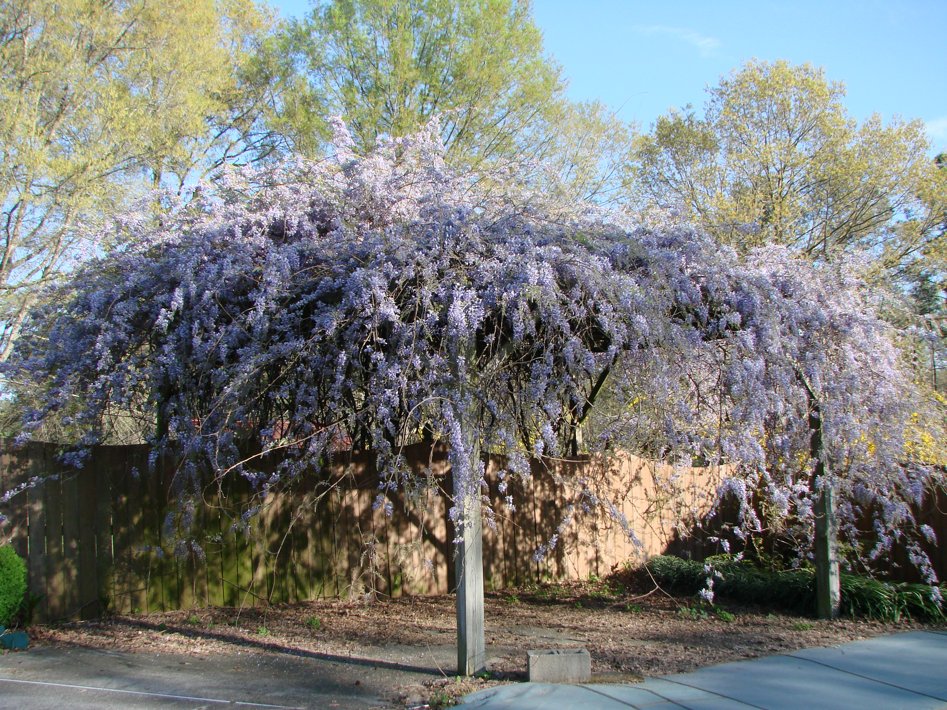 Garden Design: Garden Design with Plant Profile: Wisteria with ...