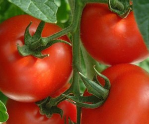 Growing Tomatoes in Containers – 4/13/12