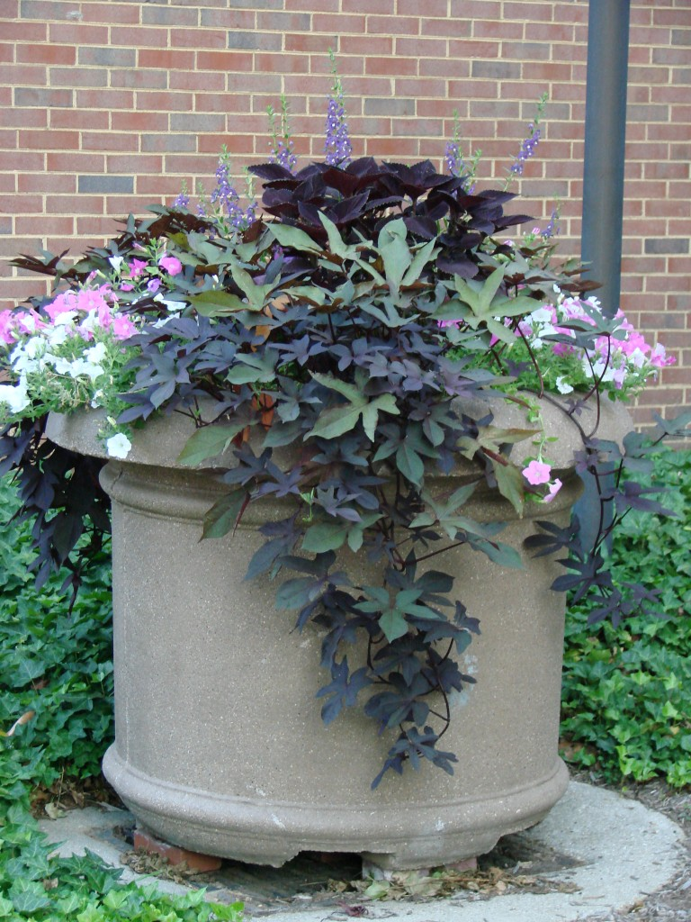 Plant profile plant combinations for your containers - Best flower combinations for containers ...
