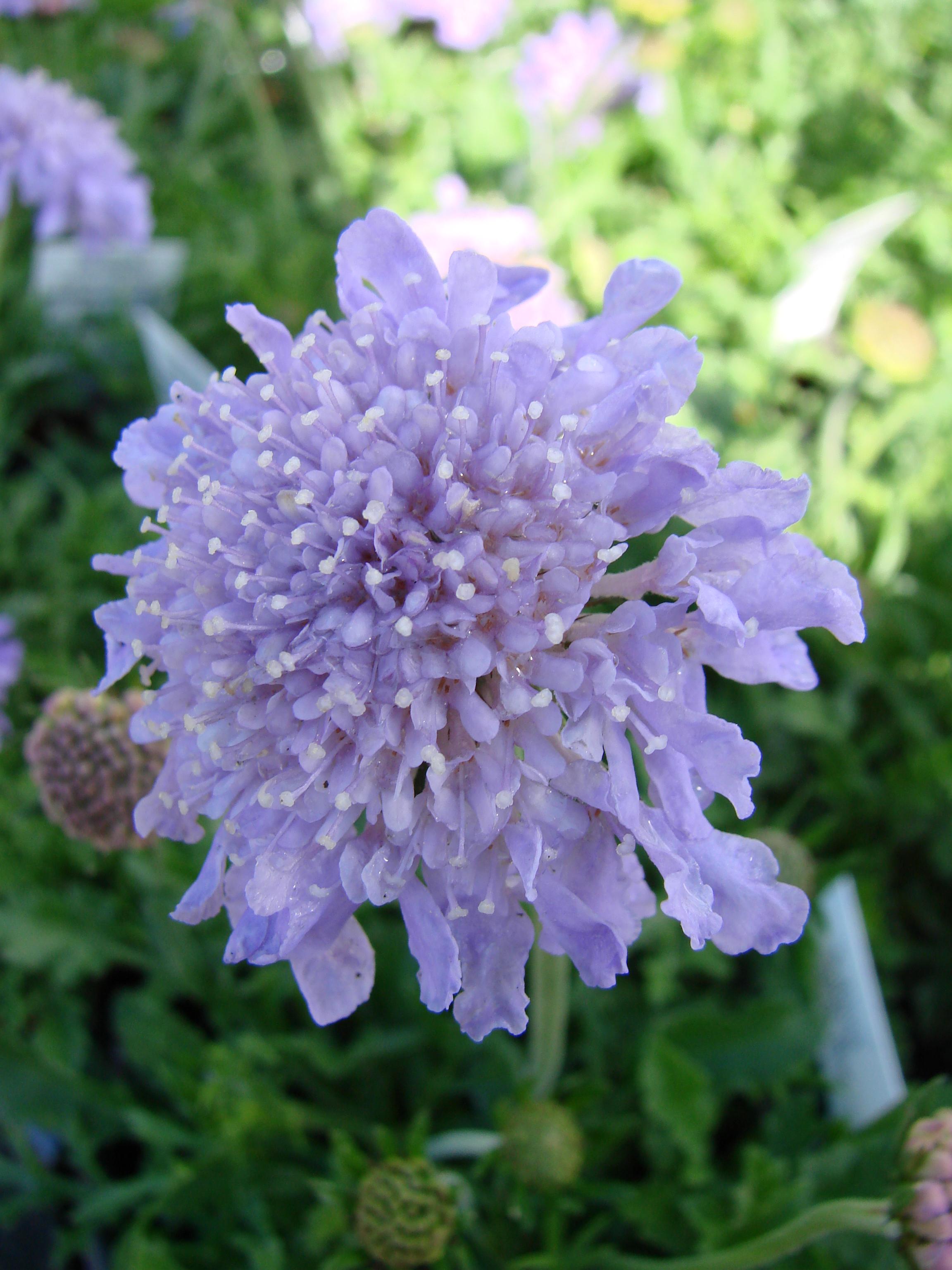 Reader Questions Should I Deadhead My Perennials