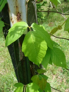 Poison Ivy vs Virginia Creeper – 5/21/12