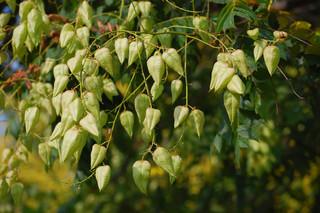 Plant Profile Golden Rain Tree Koelreuteria paniculata