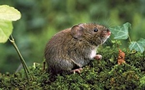 moles and voles