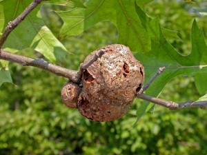 galls on trees