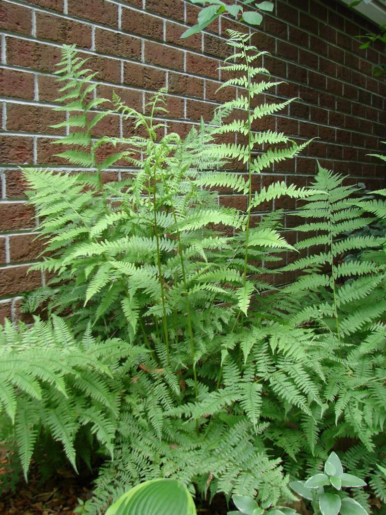 transplanting ferns