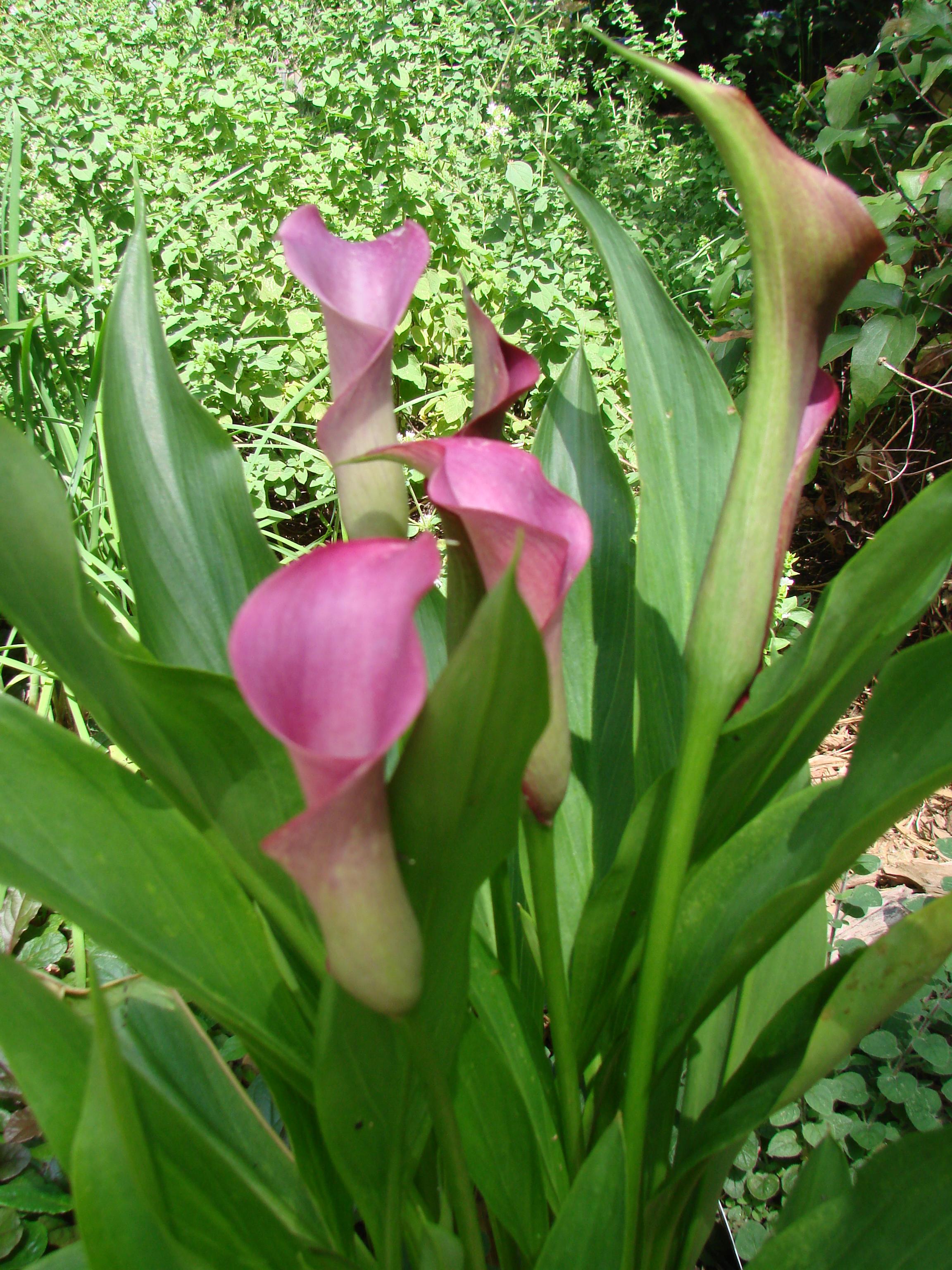 Plant Profile Calla Lilies Zantedeschia Aethiopica