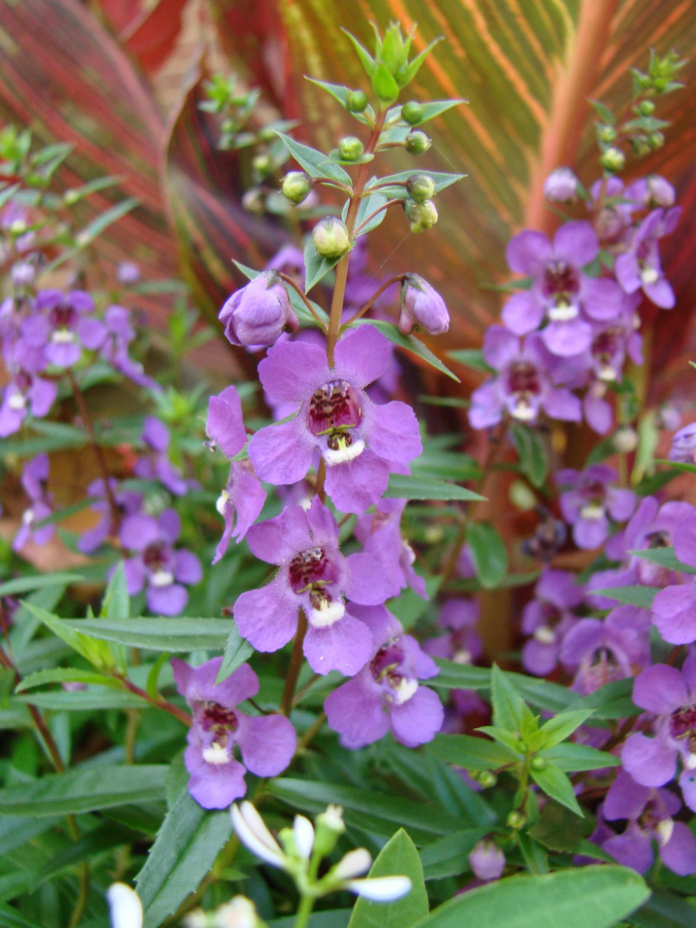 Plant Profile Angelonia Serena Purple
