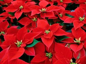 http://midatlanticgardening.com/wp-content/uploads/2011/12/Poinsettia-red-300x225.jpg