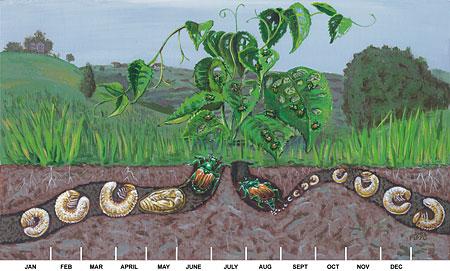 Pests And Diseases Japanese Beetles